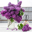 Old-Fashioned Lilac Hedge