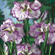 Geisha Girl Japanese Iris