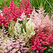Astilbe Plant Mix