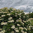 Autumn Jazz<sup>™</sup> Viburnum Hedge