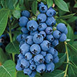 Jewel Southern Highbush Blueberry