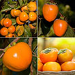 Persimmon Fruit Tree Assortment