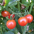 Red Marble Tomato
