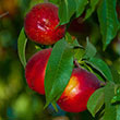Ruby Grand Nectarine