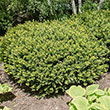Spreading Densiformis Yew Hedge