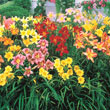 Reblooming Daylily Mix