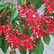 Red Buckeye Tree
