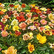 Breeders Choice Daylily Collection