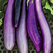 Ping Tung Long Eggplant Seed