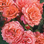 Easy Does It<sup>®</sup> Floribunda Rose