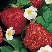 Festival (Everbearer) Strawberry