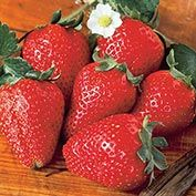 Tristar (Everbearer) Strawberry