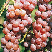 Seedless Red Canadice Grape
