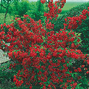 Red Cardinal Weigela