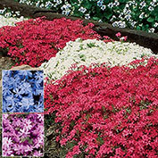 Pink Emerald Creeping Phlox