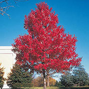Scarlet Maple Tree