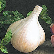 Walla Walla Early Garlic