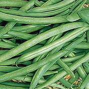 Early Contender Bush Bean