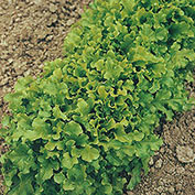 Salad Bowl Leaf Lettuce