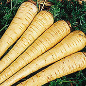 All American Parsnip