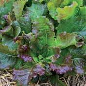 Red Mist Leaf Lettuce