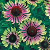 Green Twister Coneflower