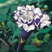 Purple Petticoats Angel Trumpet