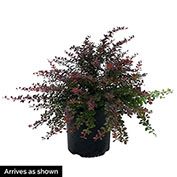 Crimson Pygmy Dwarf Barberry