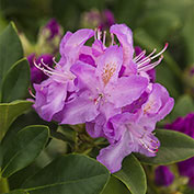 Cunningham's Blush Rhododendron