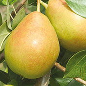 Crisp 'n Sweet™ Pear Tree