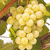Cayuga Grape