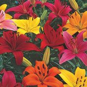 Bright and Bold Asiatic Lily Mix
