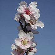 Flat Wonderful™ Peach Tree