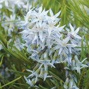 Arkansas Amsonia
