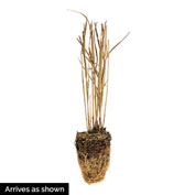 Hot Rod Switchgrass