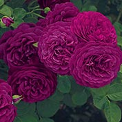 Twilight Zone Grandiflora Rose
