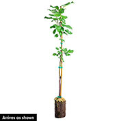 TruGold™ Reachables™ Peach Tree