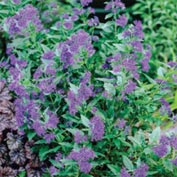First Choice Blue Mist Shrub