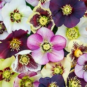 Honeymoon Series Single Hellebore Mix