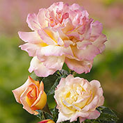 Peace Hybrid Tea Rose - Jumbo