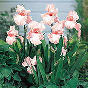 Pink Attraction Reblooming KickStart™ Iris