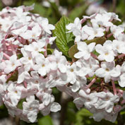 Korean Spice Viburnum