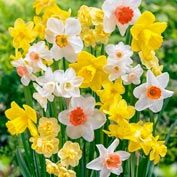 Fragrant Daffodil Mix