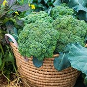 Gurney's<sup>&reg;</sup> Blue Ribbon Hybrid Broccoli