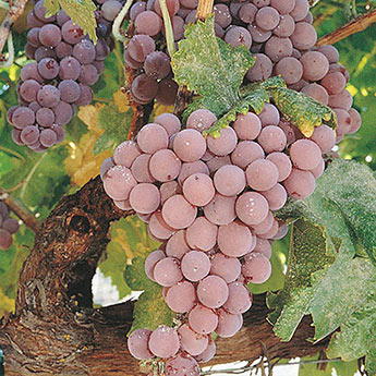 Pink Reliance Seedless Grape Vine