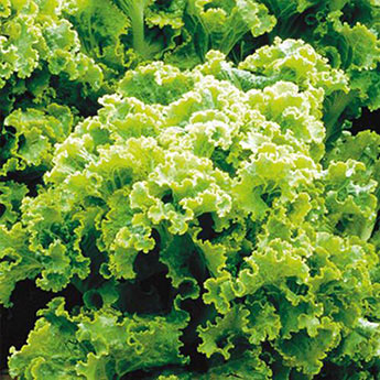 Green Ice Leaf Lettuce Seed