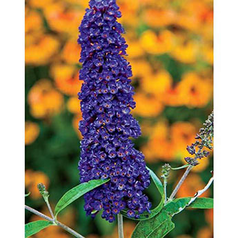 Black Knight Butterfly Bush Plant