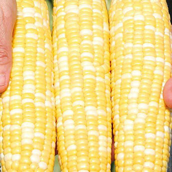 Gotta Have It<sup>®</sup> Hybrid Sweet Corn Seed