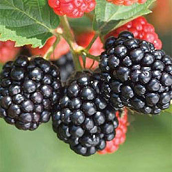 Triple Crown Thornless Blackberry Plant
