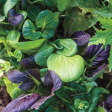 Color Crunch Pak Choi Blend